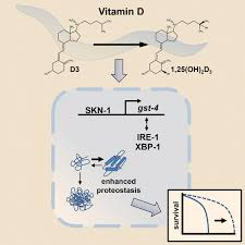 vitamin d enhances lifespan and protein homeostasis new study