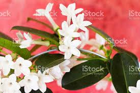 Stephanotis Flower Stephanotis Flowers On Red Stock Photo 163754694 Istock