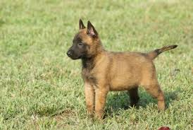 belgian shepherd how much belgian malinois short haired fawn dog adogbreeds com