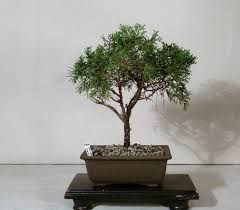 full moon bonsai full moon bonsai home