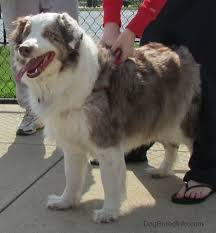 8 month australian shepherd australian shepherd dog breed pictures 1