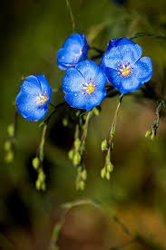 357 best blue flowers images on pinterest blue flowers plants