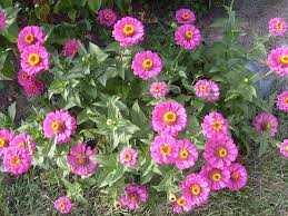 Zinnia Flowers Free Photo Zinnia Leaves Green Pink Flowers Stems Plants Max Pixel