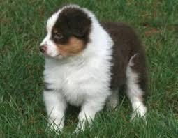 australian shepherd kc pedigree kc registered australian shepherd puppies in chudleigh