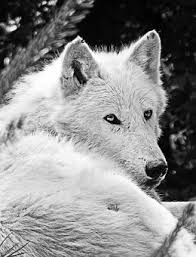 white wolf images pixabay free pictures