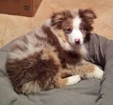 double r australian shepherds miniature australian shepherds for sale in michigan