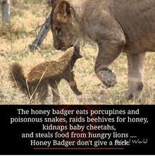 Honey Badger Memes - the honey badger eats porcupines and poisonous snakes raids