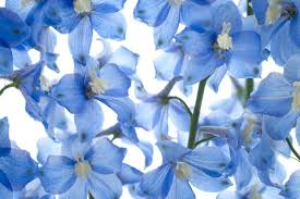 delphinium flowers delphinium flower meaning flower meaning