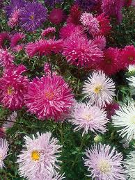 annual flowers from seed annual flowers hgtv