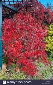 leaves of virginia creeper u2014 parthenocissus quinquefolia