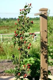 powell gardens u0027 blog berrilicious days in the heartland harvest