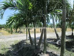 adonidia palm trees palm trees homestead