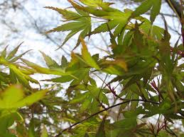 a species of native plant woody plant native anthony kitema