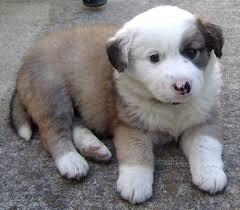 australian shepherd boxer mix golden retriever australian shepherd mix photo happy dog heaven