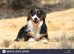 australian shepherd yellow dog australian shepherd aussie black tricolor lying