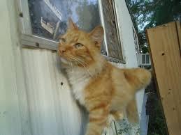 garfield uses the window as a cat door backyard chickens