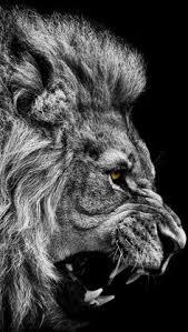 majestuoso beautiful animals lions animal