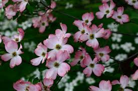 tree with pink flowers file flowering tree pink white west virginia forestwander jpg