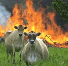 Cows standing in front of a burning barn
