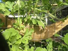 growing watermelons vertically on a chicken coop as a trellis