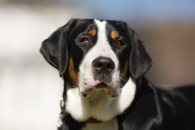 afghan hound de 1 mes greater swiss mountain dog breed information pictures