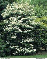 Top Flowering Shrubs - viburnums are versatile shrubs fine gardening
