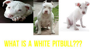 american pitbull terrier white with black spots what is a white pitbull youtube