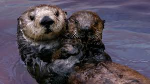 why sea otters hold hands u0026 wrap pups in seaweed youtube