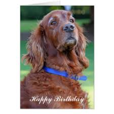 setter gifts on zazzle