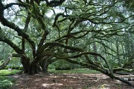 live oak society louisiana garden club federation inc
