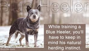 australian shepherd blue heeler incredibly handy tips on training a blue heeler