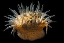 sea anemones gulf specimen marine lab