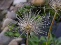 free photo garden flower seeds was free image on pixabay