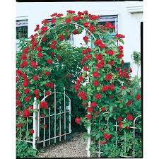 shop 2 25 gallon climbing rose l10152 at lowes com