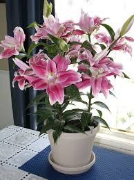 growing lilies indoors lily flower store