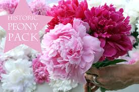peonies flowers peony s envy flower farm tree and herbaceous peonies