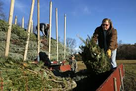 photos christmas trees delivered to windy knoll farm business