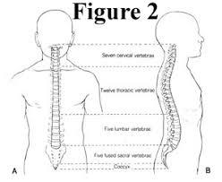 Human Vertebral Column Anatomy Fig2 Jpg