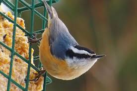 Nc Backyard Birds 4 Foods To Attract Nuthatches To Your Yard Birds U0026 Blooms Magazine