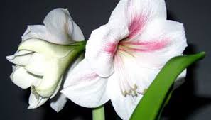 Amaryllis Flowers How To Divide Amaryllis Bulbs Garden Guides