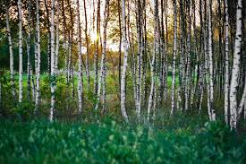 into the woods tree names in russian part i russian language