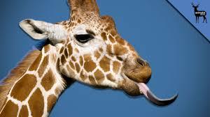 what u0027s wild creature feature giraffes