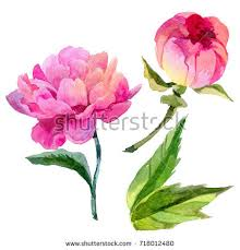 Peonies Flower Pink Peony Flower Watercolor Illustration Botanical Stock
