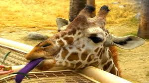 why do giraffes have purple tongues youtube