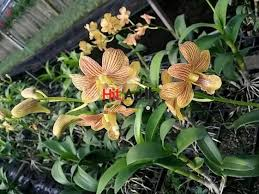 buy an orchid orchid plant for sale hitad lk best online classifieds in sri