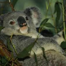 Koala Meme Generator - laid back koala meme generator