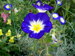Combination Of Blue by Blue Flowers Images And Wallpapers Download