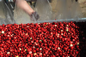 cranberry harvest well underway on cape cod and southeastern mass