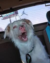 australian shepherd double merle about us speak st louis