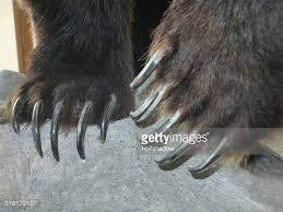 grizzly claws grizzly claws stock photo getty images